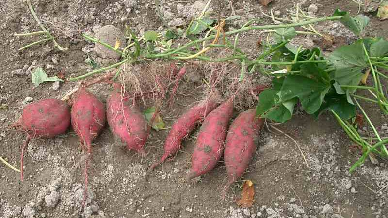 3 Tips for Growing Potatoes