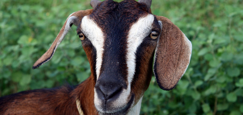 5 Great Reasons to Get Goats