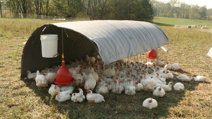 Tips to Keep Your Chickens Safe from Predators