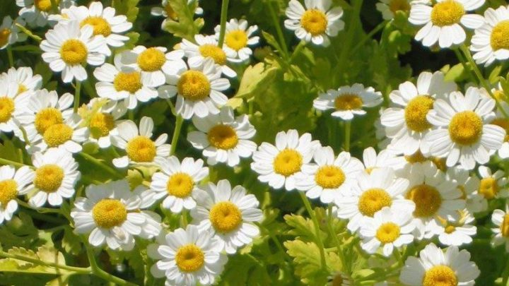 All About Feverfew