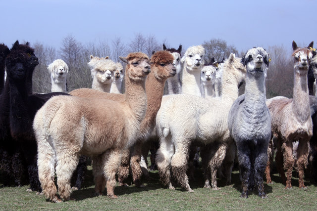 All About Alpacas