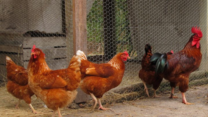 3 Easy Ways to Keep Your Chickens Healthy