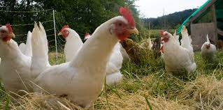 Chickens Do More than Just Produce Eggs