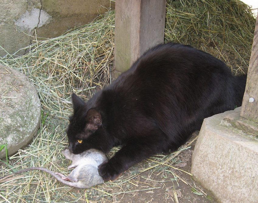 Benefits of Cats on a Homestead