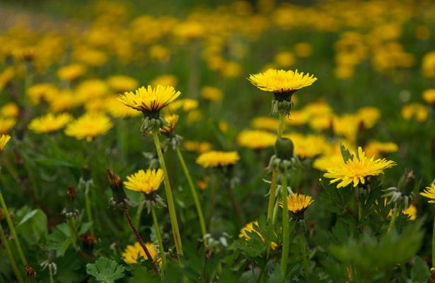 Dandelion Balm for Aches and Pains