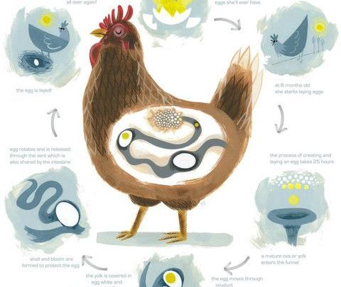 The Life Cycle of a Chicken (Infographic)