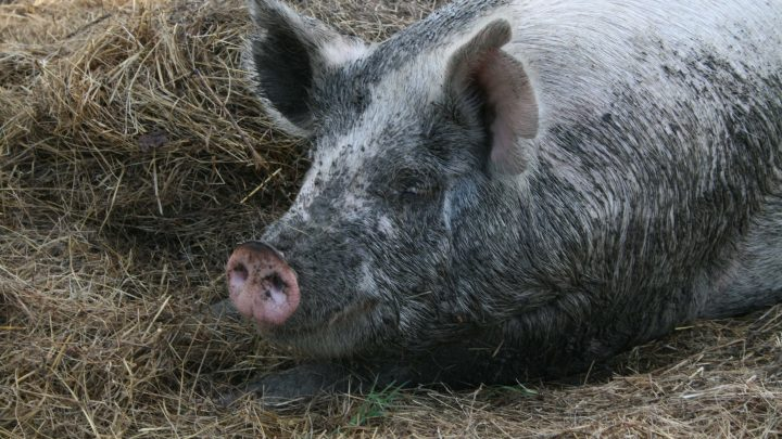 Best Animals to Raise for a Homesteader