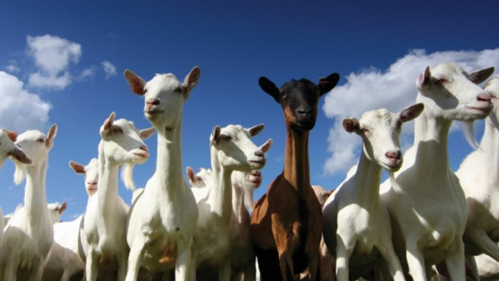 Tips for Raising Goats