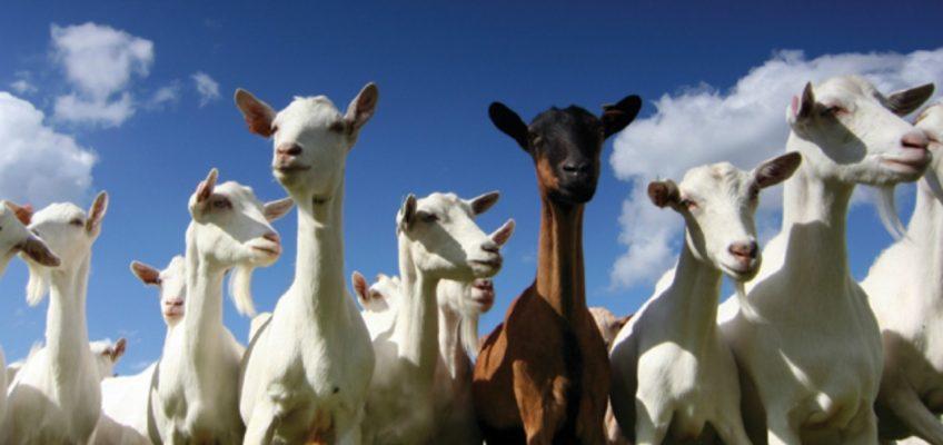 Tips for Raising Goats