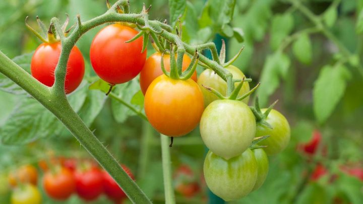 3 Tips for Healthier Tomatoes