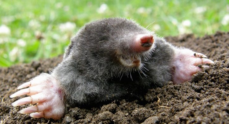 3 Ways to Get Rid of Moles Without Killing Them