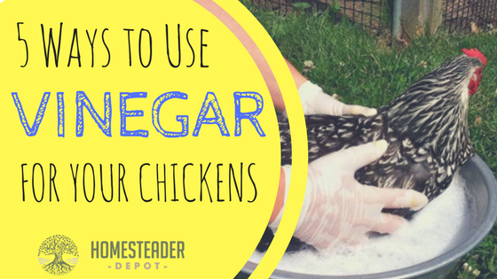 5 Ways to Use Vinegar for Your Chickens