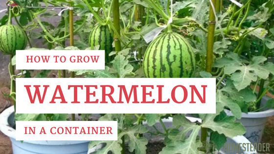 how long for a watermelon to grow