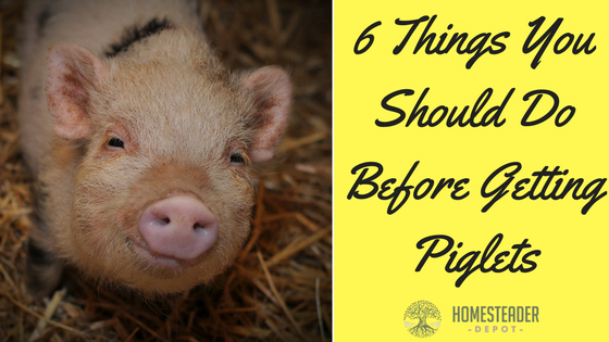 6 Things You Should Do Before Getting Piglets