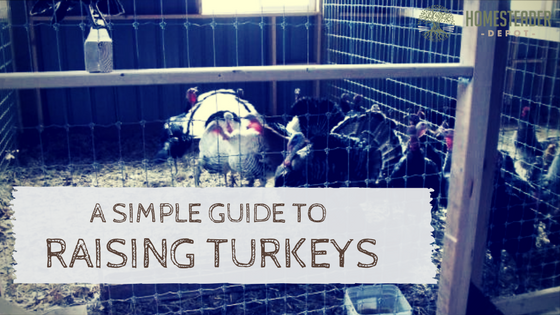 A Simple Guide to Raising Turkeys