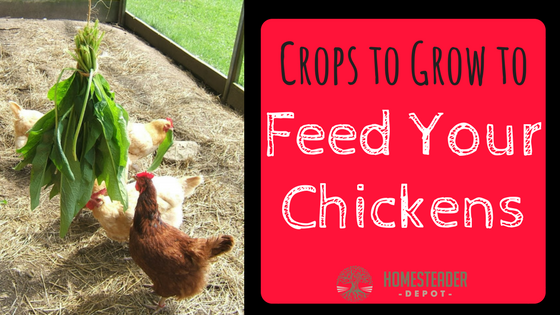 Crops to Grow to Feed Your Chickens