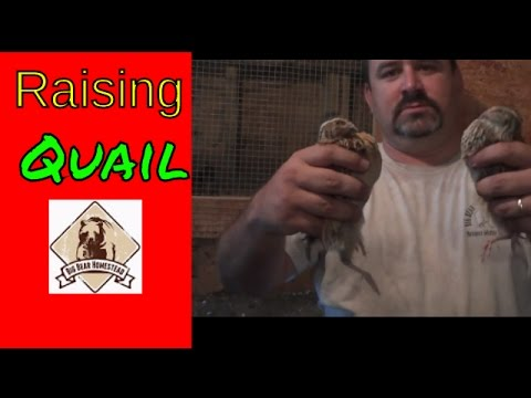 Raising Quail (Video)