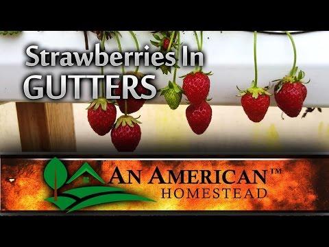 Growing Strawberries In Gutters (Video)