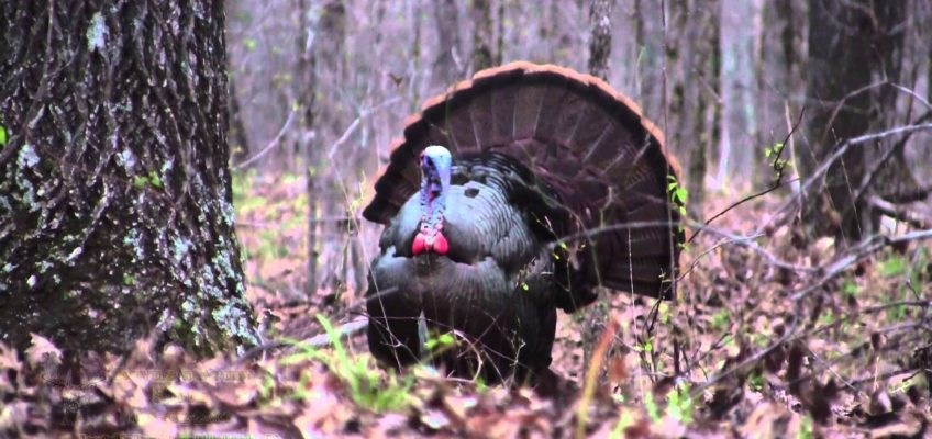 Opening Day-Georgia Spring Turkey Hunting (Video)