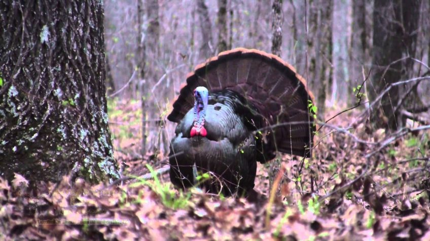 Opening Day-Georgia Spring Turkey Hunting (Video)
