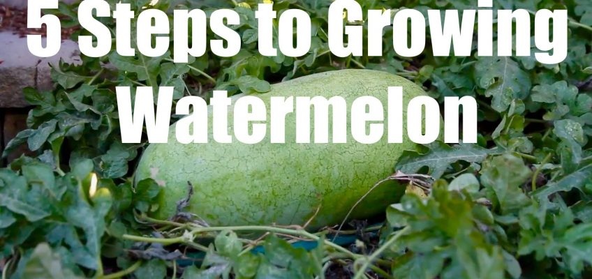 5 Steps to Growing Watermelon (Video)