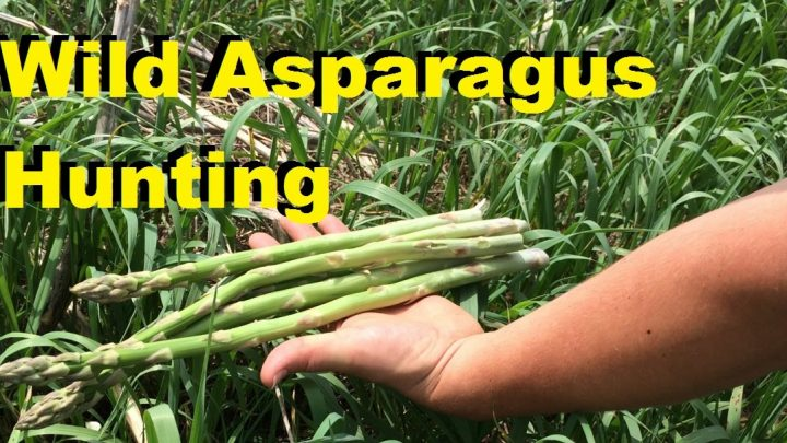 Where and How to Find Wild Asparagus (Video)