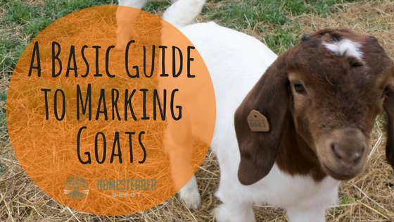 A Basic Guide to Marking Goats
