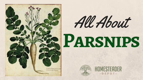 All About Parsnips