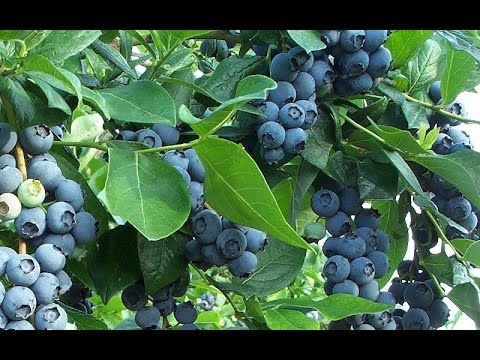How to Get Free Blueberry Plants (Video)