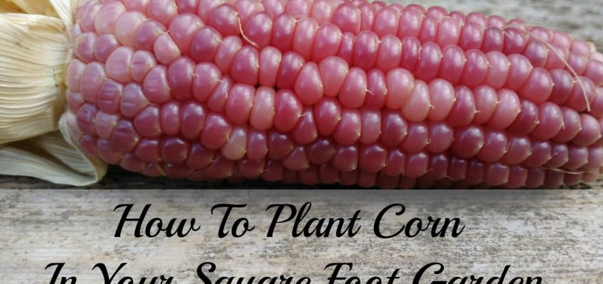 How to Plant Corn in a Square Foot Garden (Video)