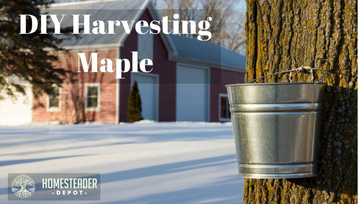 Harvesting Your Own Maple in Just a Few Simple Steps