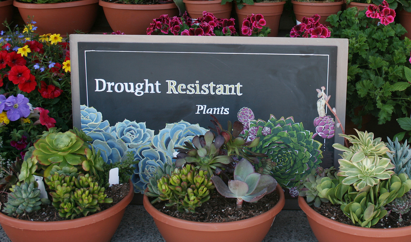 13 drought tolerant plants for low maintenance landscapes for Low maintenance drought tolerant plants