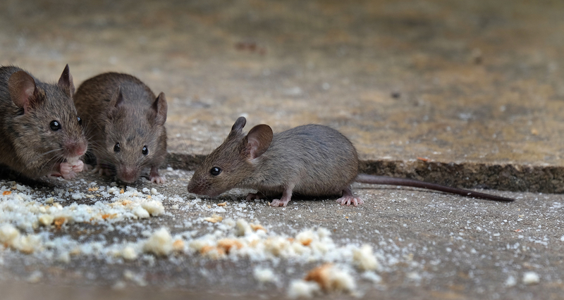 4 Completely Natural Ways to Rid Your Property of Mice