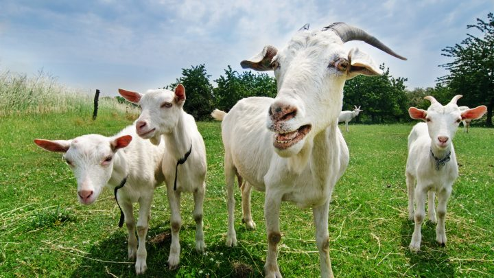7 Practical Reasons Your Homestead Needs Goats