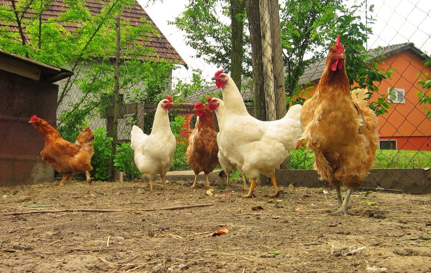 8 Ways Chickens Can Benefit Your Homestead