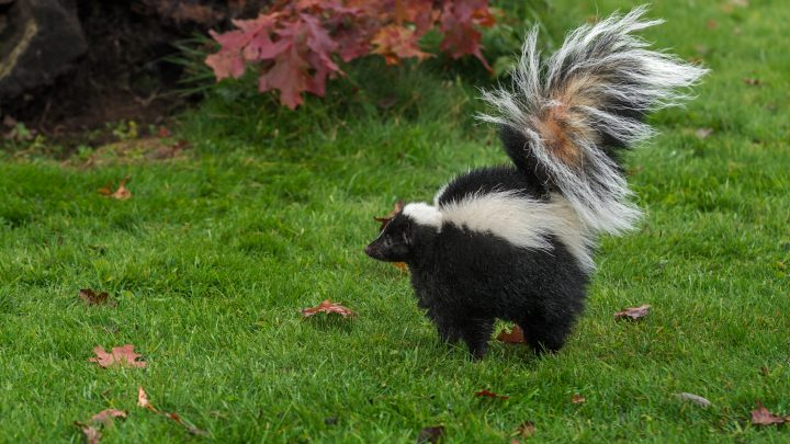 How to Avoid a Skunk Problem Before It Happens
