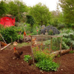 How to Safely Let Chickens in the Garden