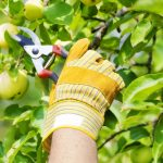 Tips for Pruning Fruit Trees