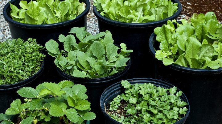 When to Harvest Vegetables and Herbs