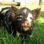 Homestead Hog Slaughtering (Video)