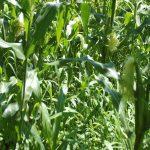 Saving Space While Growing Corn