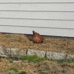 5 Ways for Your Chickens to Earn Their Keep