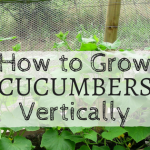 How to Grow Cucumber Vertically