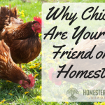 Why Chickens Are Your Best Friend on the Homestead