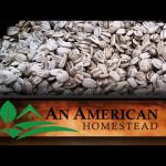 How to Harvest Sunflower Seeds (Video)