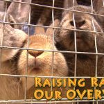 Raising Rabbits for Meat: Overview (Video)