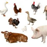 3 Keys to Choosing the Perfect Livestock