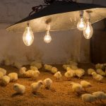 4 Things Baby Chicks Need for Healthy Living