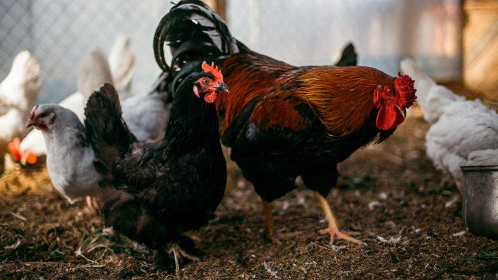 No Waste Chicken Feeder