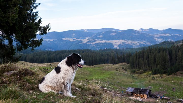 What is a Homestead Dog?